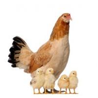 Avicola e rurali - accessori per animali da cortile